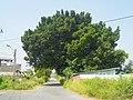 田厝一街旁的大榕樹 - panoramio.jpg