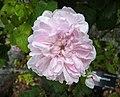 百葉薔薇 Rosa × centifolia 'Fantin-latour' -紐西蘭威靈頓植物園 Wellington Botanic Garden, New Zealand- (45842768244).jpg