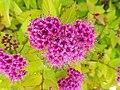 粉花繡線菊 Spiraea japonica 'Golden Princess' -美國阿拉斯加 Juneau, Alaska- (40742872172).jpg