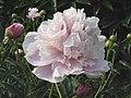 芍藥-粉塔 Paeonia lactiflora 'Pink Tower' -瀋陽植物園 Shenyang Botanical Garden, China- (12380583344).jpg