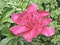 芍藥-絨花魁 Paeonia lactiflora 'Fluffy Flower Champion' -揚州瘦西湖 Yangzhou, China- (12403737865).jpg