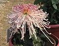 菊花-吉祥雨 Chrysanthemum morifolium 'Auspicious Rain' -中山小欖菊花會 Xiaolan Chrysanthemum Show, China- (11961173375).jpg