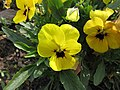 角堇 Viola Penny Yellow Blotch -上海國際花展 Shanghai International Flower Show- (17340997851).jpg