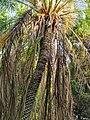 軟葉刺葵 Phoenix roebelenii 20201013101916 03.jpg