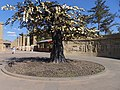 鐵樹 Iron Tree - panoramio.jpg