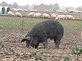 -2019-10-31 Free range pigs, Southrepps (3).JPG