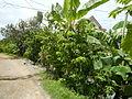 09671jfVillage Creek Atis Banana Plants San Miguel Bulacanfvf 03.JPG