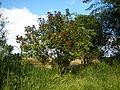09778jfLandscapes Bixa orellana Maronquillo San Rafael Bulacanfvf 12.JPG