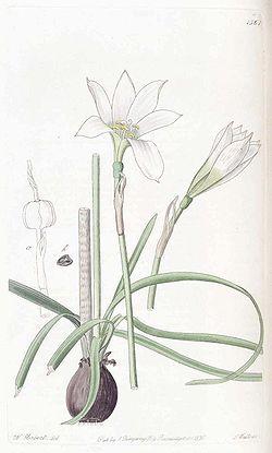 1361 Zephyranthes mesochloa.jpg