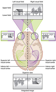 Human vision and functionpart 1 how the eye works14 anatomy of 14 anatomy of the visual pathwayedit ccuart Choice Image
