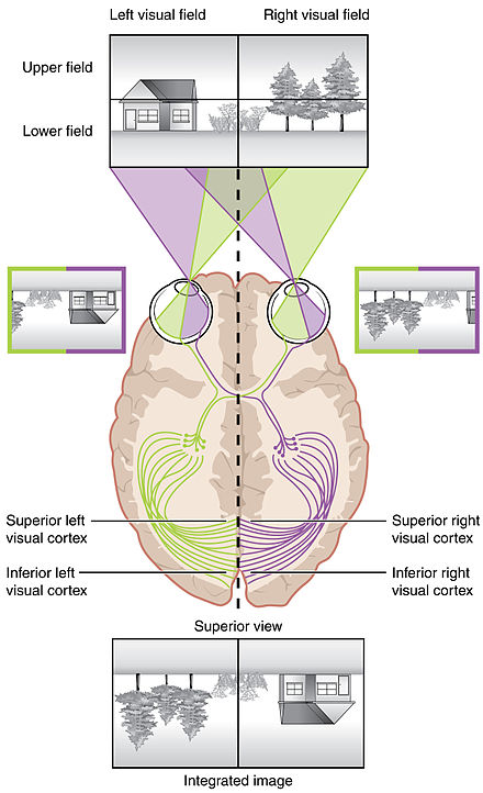 The retina image topography is maintained through the visual pathway to the primary visual cortex.[9]