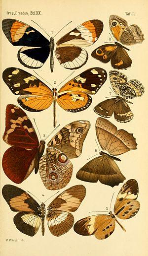 Gustav Weymer -  Plate 2 from  Exotische Lepidopteren 1907