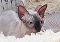 1 adult cat Sphynx. img 037.jpg