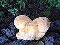 2005-08-17 Climacodon pulcherrimus (Berk. & M.A. Curtis) Nikol 477927.jpg