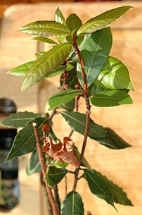 Laurus nobilis, Bay Laurel, familly Lauraceae, grown in a kitchen for bay leaf.