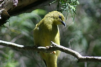 Yellow honeyeater - Image: 20070822 5358 Yellow Honeyeater