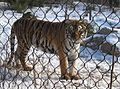 2009 FranklinParkZoo tiger Boston.jpg
