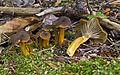 2011-07-12 Craterellus tubaeformis 71471.jpg