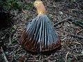 2012-08-30 Penicillium expansum Link 309568.jpg