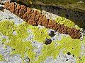 2012-11-28 Acarospora thamnina (Tuck.) Herre & Pleopsidium flavum (Bellardi) Körber 289582.jpg