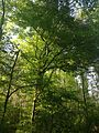 2014-05-12 08 54 28 Large American Beech along the Blue Trail within Drexel Woods in Lawrence Township, New Jersey.JPG