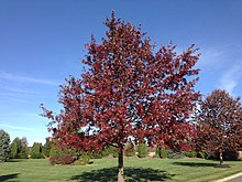 2014-11-02 14 15 16 Scarlet Oak foliage during autumn on Hunters Ridge Drive in Hopewell Township, New Jersey.jpg