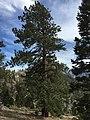 2015-04-30 15 56 51 Ponderosa Pine along the Trail Canyon Trail in the Mount Charleston Wilderness, Nevada about 1.9 miles north of the trailhead.jpg