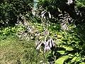2015-07-20 12 23 15 Hosta flowers along Terrace Boulevard in Ewing, New Jersey.jpg