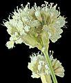 2015-09-17-16.29.03 ZS PMax Eriogonum nudum var. psychicola-1 (21312688880).jpg