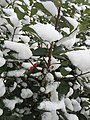 2016-02-15 10 04 45 American Holly foliage and berries covered in snow along Hidden Meadow Drive in the Franklin Farm section of Oak Hill, Fairfax County, Virginia.jpg