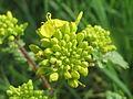 20160414Barbarea vulgaris4.jpg