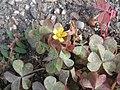 20170926Oxalis corniculata.jpg