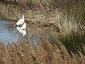 2018-02-07 Two Little Egret, (Egretta garzetta), Salgados Nature Reserve.JPG
