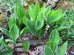 2018-05-13 (168) Convallaria majalis (lily-of-the-valley) at Bichlhäusl in Frankenfels, Austria.jpg
