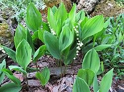 2018-05-13 (168) Convallaria majalis (lily-of-the-valley) at Bichlhäusl in Frankenfels, Austria.jpg
