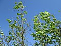 20180430Ulmus minor4.jpg