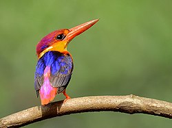 24. Another Oriental dwarf kingfisher (Ceyx erithaca) photograph by Shantanu Kuveskar.jpg