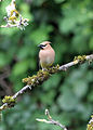 266 cedar waxwing swingle odfw (5881970434).jpg