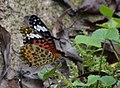 294黑端豹斑蝶7(游釗敏攝) (12944316794).jpg
