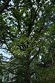 51-101-5023 «Дуб білий», м. Одеса, Обсерваторний пров., 6.jpg