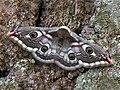 68.001 BF1643 Emperor Moth, Saturnia pavonia, female. (2453598687).jpg