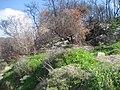 951 פריחה קטנה בלב השרפה בפארק הכרמל- 10.2010.jpg