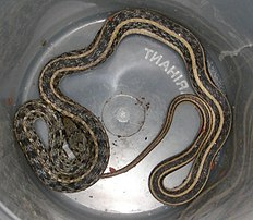 AB018 buff striped keelback.jpg