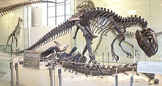 Allosaurus - Mounted A. fragilis specimen (AMNH 5753), posed as scavenging an Apatosaurus