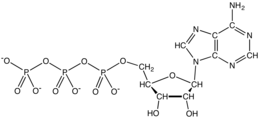 Skeletal formula of ATP