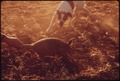 A DOG ATTACKS AN ARMADILLO ON A FARM NEAR LEAKEY, TEXAS NEAR SAN ANTONIO - NARA - 554929.tif