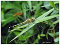 A Ground Skimmer (Diplacodes trivialis) female eating a Agriocnemis keralensis. (15060570511).jpg