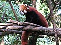 A Red Panda in Darjeeling.jpg