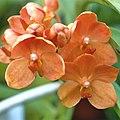 A and B Larsen orchids - Ascocenda Medasand 1040-14x.jpg