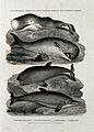 A blunt headed cachalot, a gibbous cachalot, a porpoise and Wellcome V0021600EL.jpg